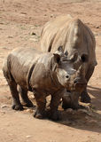 White Rhino and baby. The Southern White Rhino is the second largest land mammal. They are grazers, found on the grassy savannahs of Southern Africa stock images