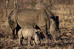 White rhino and baby rhino stock images
