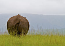 White Rhino From Behind Stock Images