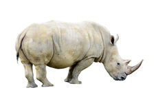 White Rhino. Big white Rhino bull with a nice horn isolated on a white background Royalty Free Stock Photo