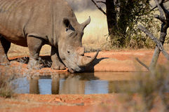 White rhino. With big horn drinking water stock photos
