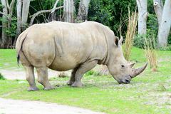 White Rhino. Big white Rhino with a nice horn bull eating grass Stock Photo