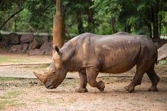 White Rhino Stock Photos