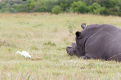 White Rhino and Bird. Kragga Kamma Game Park in Port Elizabeth lush coastal forest and grassland is home to vast herds of African game royalty free stock photography