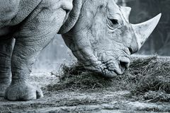White rhino. In black and white eating Stock Photos