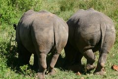 White Rhino bottoms. Two extremely rare white rhinos grazing in Maasai Mara national park Stock Image