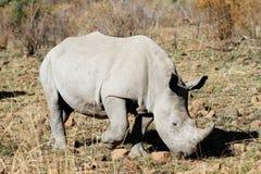 White rhino bull Stock Images