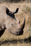 White rhino bull Royalty Free Stock Photography
