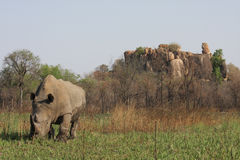White Rhino Bull in Matopos Royalty Free Stock Photo