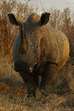 White Rhino Bull Royalty Free Stock Photo