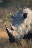 White rhino bull. A wildlife portrait of a white rhino feeding Royalty Free Stock Images