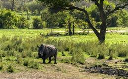 White Rhino in the bush. A white rhino taken in it's natural habitat stock photo