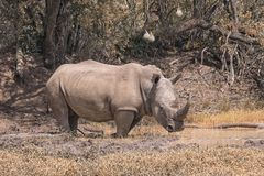 White rhino in the bush. White rhino in the dry bush, South Africa Stock Photo