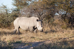 White rhino in the bush. White rhino grassing in the dry african bush, Khama Rhino sanctuary, Botswana, Africa Royalty Free Stock Images