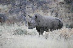 White rhino in the bush Stock Photo