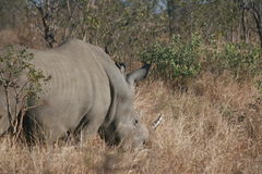 White rhino in the bushveld. In the Kruger National Park, South Africa on June, 2014 Stock Images