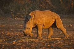 White Rhino Calf Royalty Free Stock Photo