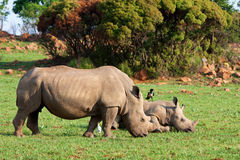 White Rhino and Calf. White rhino with a rhino calf Royalty Free Stock Images
