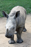 White Rhino calf. This was taken in South Africa at an endangered species centre royalty free stock photo