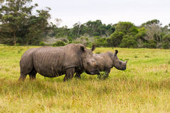 White Rhino and calf Royalty Free Stock Images