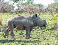 White Rhino Calf. A White Rhino calf in Southern African savanna royalty free stock image