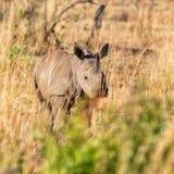 White Rhino Calf. A White Rhino calf in Southern African savanna royalty free stock photo