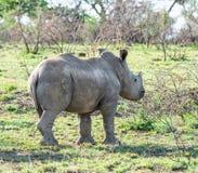 White Rhino Calf. A White Rhino calf in Southern African savanna stock photos