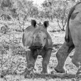 White Rhino Calf. A White Rhino calf in Southern African savanna royalty free stock images
