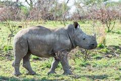 White Rhino Calf. A White Rhino calf in Southern African savanna royalty free stock photos