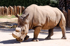 White rhino in captivity. White rhino (rhinoceros) bull in captivity at desert zoo in Arizona Royalty Free Stock Image