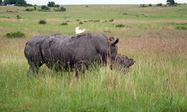 White Rhino. Royalty Free Stock Photography