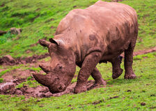 White Rhino (Ceratotherium simum) Stock Photography
