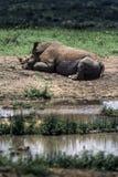 White Rhino. Ceratotherium simum Hluhluwe National Park, Kwa-Zulu Natal, South Africa Stock Photo