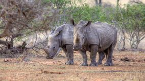 White Rhino. (Ceratotherium simum) in the Kruger National Park, South Africa stock photography