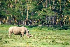 White rhino or Ceratotherium simum in savanna. White rhinoceros or Ceratotherium simum grazing in savannah of national park Lake Nakuru, Kenya Stock Image