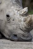 White rhino, Ceratotherium simum Royalty Free Stock Images