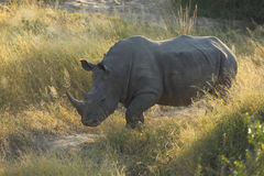 White Rhino (Ceratotherium simum) South Africa Royalty Free Stock Image