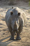 White Rhino (Ceratotherium simum) in South Africa Stock Photography