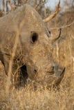 White Rhino Royalty Free Stock Image