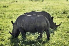 White Rhino. Ceratotherium simumHluhluwe National Park, Kwa-Zulu Natal, South Africa Stock Images