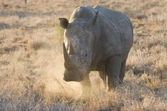 A White Rhino on the charge in Kruger National Park Stock Photography