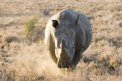 White Rhino on the charge in the Kruger National Park Royalty Free Stock Photography