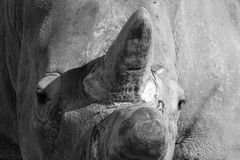 White Rhino Close Up stock photo