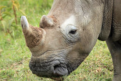 White Rhino Close-up Royalty Free Stock Photography