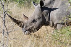 White Rhino Close Up royalty free stock photos