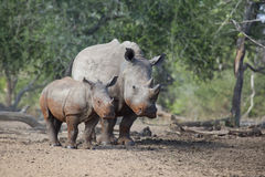 White Rhino cow and calf standing together Royalty Free Stock Photography