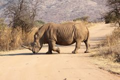 White Rhino crossing the road Stock Images
