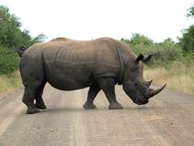 White Rhino. Crossing road in Kruger Park Stock Photo