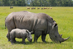 White rhino with cute calf. White rhinoceros is larger than the black rhino.It can reach speeds of up to 40 km/h stock photos