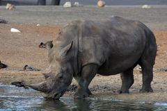 White rhino drinking Royalty Free Stock Image
